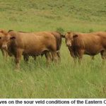 Hereford and Tuli have much to offer