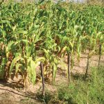 New project helps African farmers overcome stress factors in maize farming