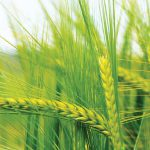 Wheat production: The use of molecular markers to  assist in pre-harvest sprouting research