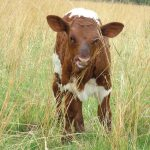 The role of licks in animal production: Protein is important in winter