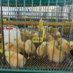 Farm management prior and on the day of chick delivery