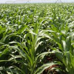 Africa not for sissies, especially agriculture