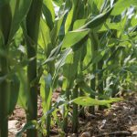 How to maintain a sub-surface drip system