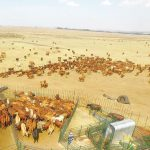 How to handle your beef cattle – Part 1: Understand your cattle