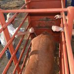 How to handle your beef cattle – Part 2: The importance of a crush