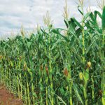 Reap more than maize with PANNAR: From humble beginnings to gold medal farmer