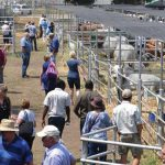 Goats and sheep surprise at Stanbic Bank Bull sale