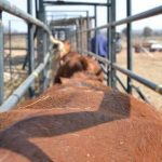 How to handle your beef cattle – Part 3: Crushes and calf separation gates