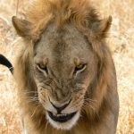 Captive-bred lion resolution in court