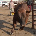 How to handle your beef cattle – Part: 4 Mobile crushes, work areas and handling equipment