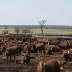 How to handle your beef cattle – Part 5: Scales