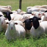 Sheep production: Choose the right breed for your production system