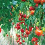 Tips for top tomato production