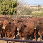 How to handle your beef cattle
