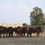 How to handle your beef cattle – Part 9: Commercial cattle farming – planning and design