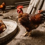 Import of eggs considered due to bird flu