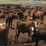 How to handle your beef cattle – Part 13: Manure handling practices