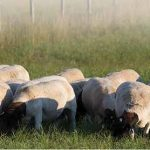 Sheep farming made easy