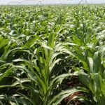 Final area planted and crop production figures