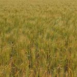 Tried and tested wheat cultivars for the Zambian market