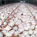 Advice from Tiger Feeds: Use all your senses to produce bright broilers
