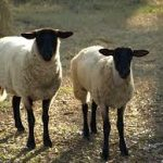 Development of an implementation/business plan for the livestock identification and traceability system in SA