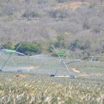 Pineapples thrive under Agrico's pivots