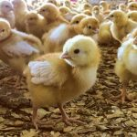 Broiler production during heat stress