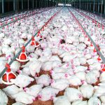 Use all your senses to produce bright broilers