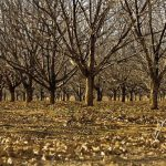 Plant pecans and leave rich pickings for generations to come
