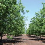 Valtrac solves the main problem of pecan nut farming: