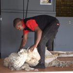 Sheep farming made easy –  Part 13: Layout of handling complexes and shearing sheds
