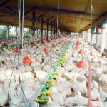 Bad news for SA chicken as imports hit new high