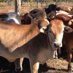 Continue the tradition: Invest in your share of cattle farming