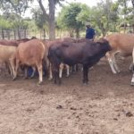 Tiger Animal Feeds: Your partner in beef business for better results