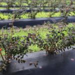 Irrigation- Less effort; more accuracy: Farm Agrico green with blueberries