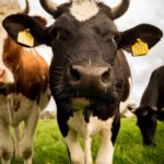 Create the perfect environment for your dairy cattle – Part 2: Different dairy cattle breeds and basic requirements