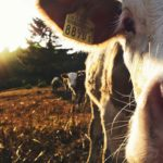 Create the perfect environment for your dairy cattle – Part 3:Environmental requirements