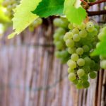 Large-scale producer affirms Namibian grapes as a global brand