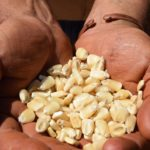 Establishing a successful crop of maize: What you need to know