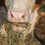 Guidelines to feed animals lucerne hay effectively