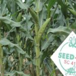 New from SeedCo: Another early maturing, climate smart and double cobbing maize hybrid