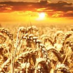 Syngenta shares interesting facts: Wheat production 2020