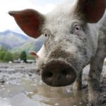 Pig production guide – Part 1: Introduction to pig feed