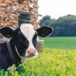 Create the perfect environment for your dairy cattle: Part 10 – Rapid-exit milking parlours and regulations