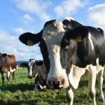 Create the perfect environment for your dairy cattle: Part 9 – The benefits and disadvantages of fishbone and rotating parlour structures