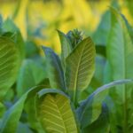 Grow better tobacco seedlings to boost your crop