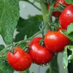 Turn your crops into condiments and seasonings: Part 5 – Tomato Chutney