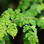 Moringa in Zimbabwe: The perfect vitamin for you and your livestock