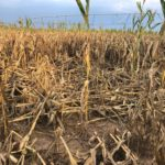 Many reasons why mature maize stalks die and fall over